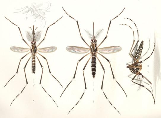 Die Gelbfiebermücke, illustriert durch E.A. Goeldi (1905). Links die Männchen, rechts die Weibchen.