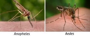 Anopheles and Aedes: comparison of body positions