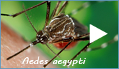 Yellow fever mosquito (Aedes aegypti)