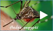 Stechmückenart: Gelbfiebermücke (Aedes aegypti)