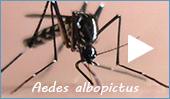 Aedes albopictus – zanzara tigre asiatica