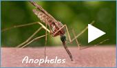 Malaria mosquitoes (Anopheles)