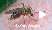 Stechmückenarten: Überschwemmungsmücken