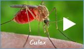 house mosquitoes (Culex and Culiseta)
