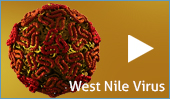 More about the West Nile Virus