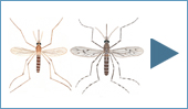 different species of mosquitoes