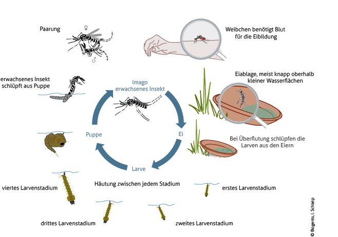 Der Lebenszyklus von Asiatische Tigermücken und Gelbfiebermücken gleicht sich. Die Eier werden meist knapp oberhalb kleiner Wasserflächen angelegt und sind trockenheitsresistent.