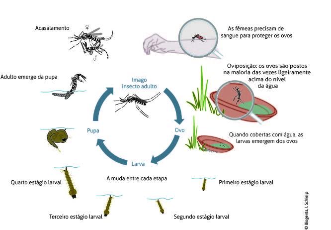 Os ciclos de vida do mosquito da Dengue e do mosquito tigre asiático são muito semelhantes. Os ovos são resistentes ao calor e à deisdratação, e são depositados em recipientes naturais e artificiais sujeitos a inundações.