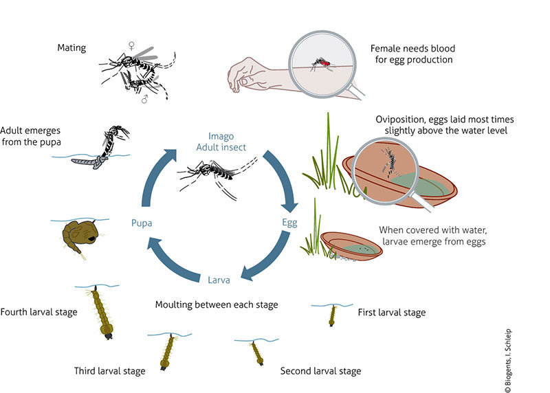 The life cycle of the Yellow fever mosquito and the Asian tiger mosquitoare very similar. The eggs are resistant to heat and dryness and are deposited in natural and artificial containers subject to flooding.