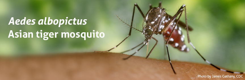 The Asian tiger mosquito transmits dengue fever, yellow fever, and the West Nile virus.