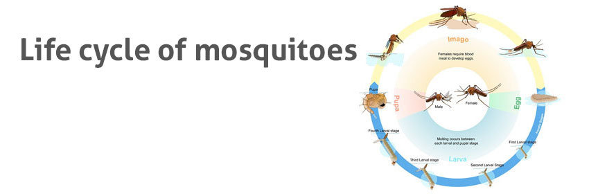 The life cycle of mosquitoes using the common house mosquito as an example. Diagram by Mariana Ruiz Villarreal, with kind permission.